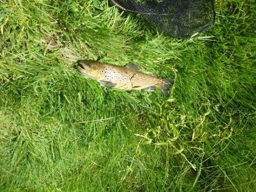 Brown trout caught in Coutts Water NSW
